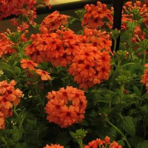 Verbena 'Lascar Mango Orange'