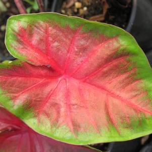 Caladium 'Royal Flush'
