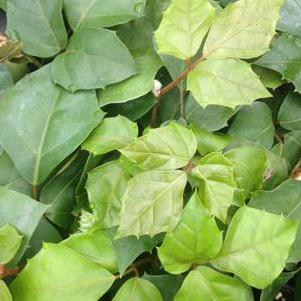 Cissus rhombifolia 'Grape Leaf Ivy'