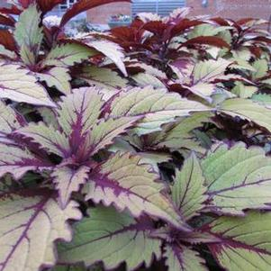 Coleus 'Flame Thrower™ Spiced Curry'