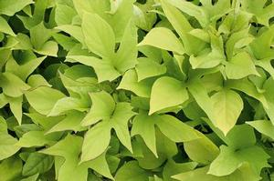 Ipomoea b 'Sweet Caroline Light Green'