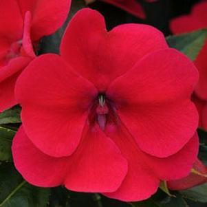 Impatiens 'Bounce™ Cherry'