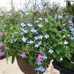 Lobelia 'Rush Creek Mix'