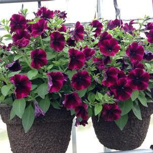 Petunia 'Sweetunia® Johnny Flame'