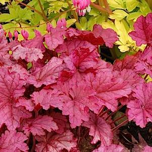 Heuchera villosa 'Berry Smoothie'