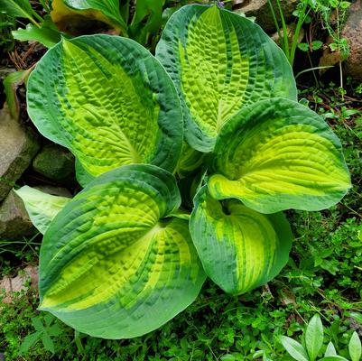 Hosta 'Great Expectaions'