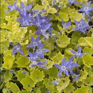 Campanula 'Dickinson's Gold'