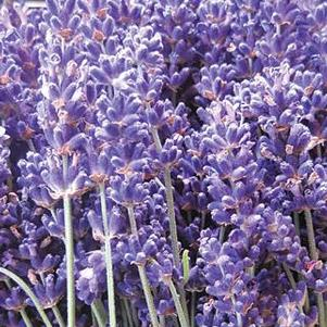 Lavender angustifolia 'SuperBlue'