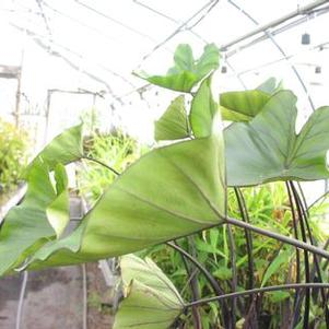 Colocasia 'Coffee Cups'