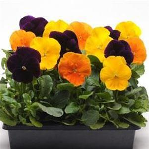 Pansy 'Matrix Mix Harvest'
