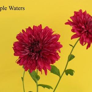 Mum 'Purple Waters'