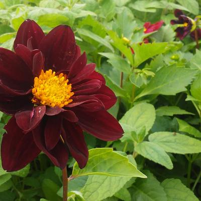 Dahlia variabilis 'Black Beauty'