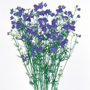 Delphinium grandiflorum 'Planet Blue'