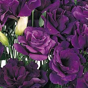 Lisianthus 'ABC 2 Purple'