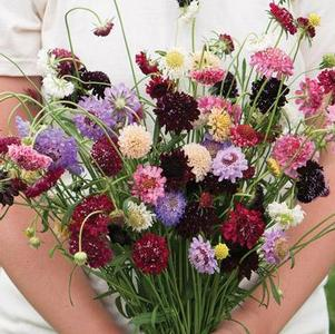 Scabiosa 'Cutbright Mix'