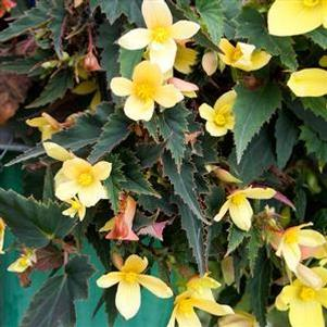 Begonia boliviensis 'Mistral® Yellow'