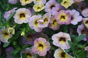 Calibrachoa 'Chameleon™ Blueberry Scone'