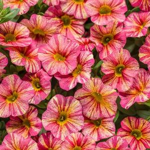 Calibrachoa 'Superbells® Tropical Sunrise™'