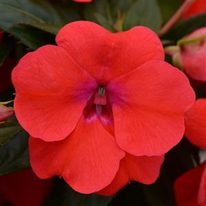 Impatiens 'Bounce™ Bright Coral'