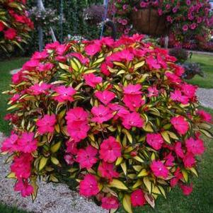 Impatiens 'SunPatiens® Compact Tropical Rose'