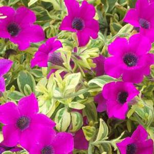 Petunia 'Surfinia® Baby Purple Variegated'