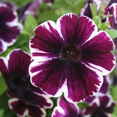 Petunia 'Sweetunia® Miss Marvel'