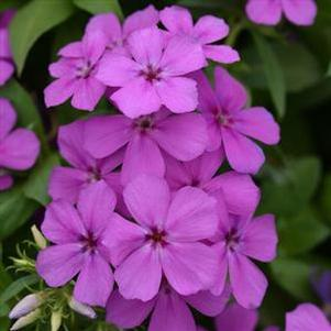 Phlox 'Gisele™ Light Violet'