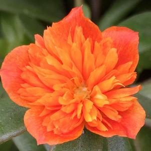 Portulaca 'Colorblast Double Orange'