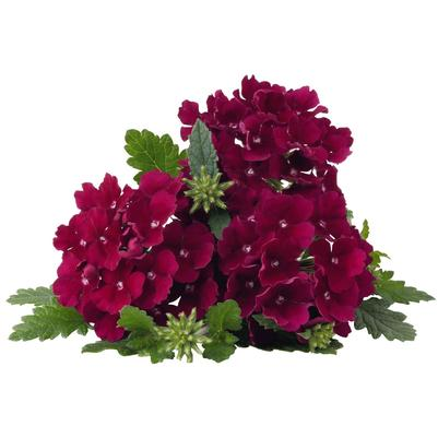 Verbena 'Empress Flair Burgundy'