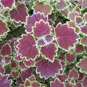 Coleus 'Stained Glassworks™ Monarch'