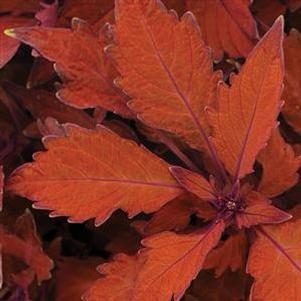 Coleus 'Flame Thrower™ Habanero'