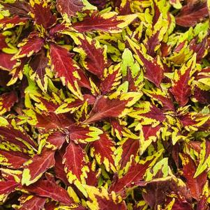 Coleus 'Colorblaze® Royal Apple Brandy®'