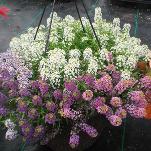 Lobularia 'Field of Streams Mix'