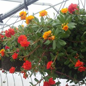 Portulaca 'Colorblast Double Citrus Mix'