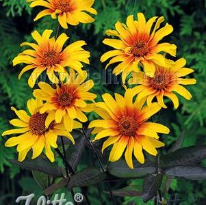 Heliopsis helianthopsis 'Burning Hearts'