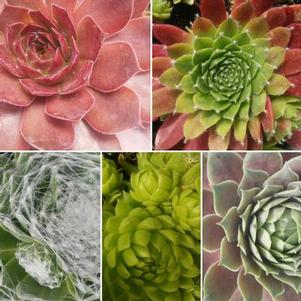 Sempervivum 'Chick Charms Mix'