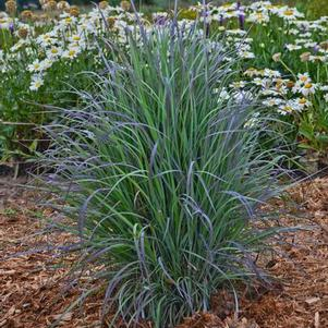 Schizachyrium s. 'Twilight Zone'