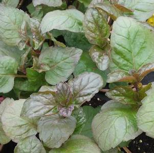 Mint 'Grapefruit'
