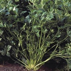 Parsley 'Rialto'
