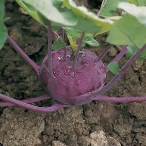 Kohlrabi 'Purple Splendor'