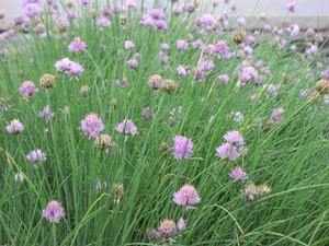 Chives 'Purly'