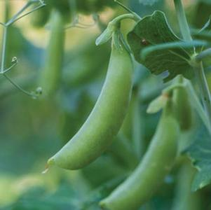 Pea 'Little Snap Pea Crunch'