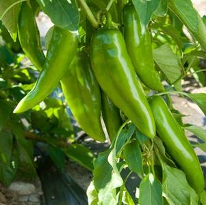 Pepper 'Anaheim Numex Joe E Parker'