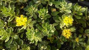 Alyssum 'Golden Spring'