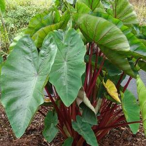 Colocasia esculenta 'Hawaiian Punch'