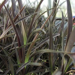 Phormium cookianum cookianum 'Purple Mountain'