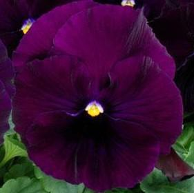 Pansy 'Spring Matrix Purple'