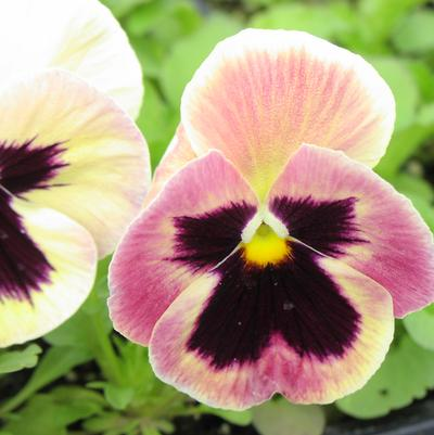 Pansy 'Majestic Giants Sherry Blotch'