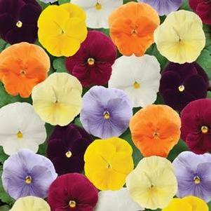 Pansy 'Spring Matrix Clear Mix'