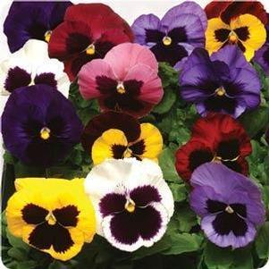 Pansy 'Matrix Blotch Mix'